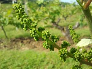vines in anjou may 2012