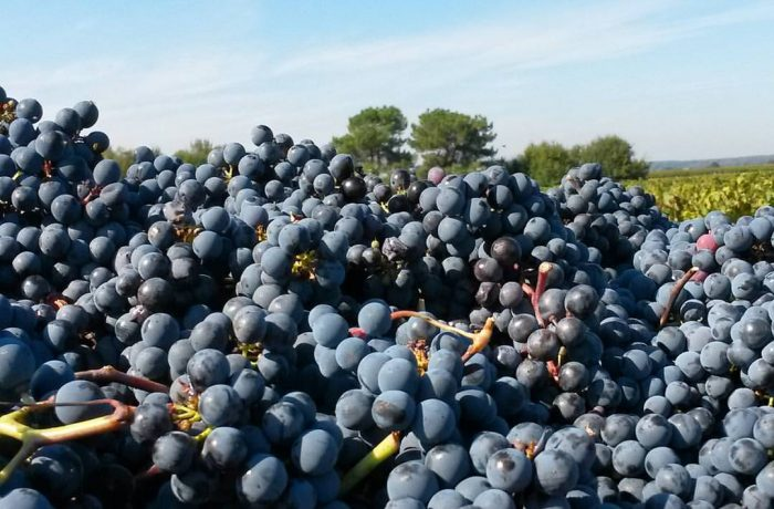 handpicked grapes