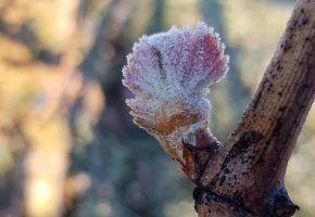 frost in the loire 2019 loire wine tours and education
