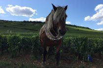 Working the vineyards using horses loire valley wine tour