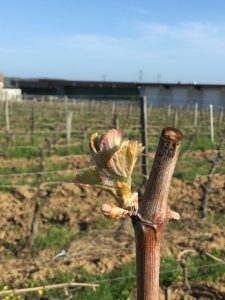 Cabernet Franc's tiny leaves beginning to unfurl in Saumur Champigny