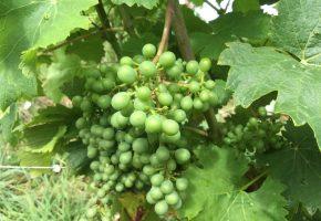 Grapes Loire 2018