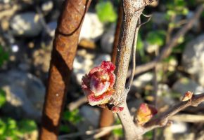 budburst young vines 2019
