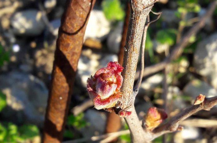 budburst young vines 2019