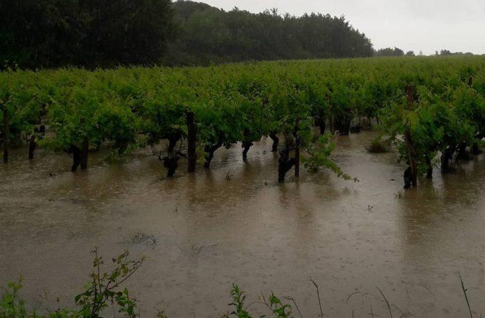 flooded vineyards anjou